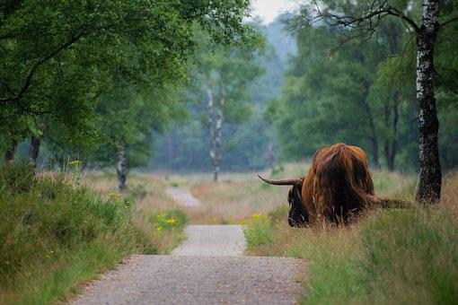Highland Cow, Animal, Road, Cow, Livestock, Mammal
