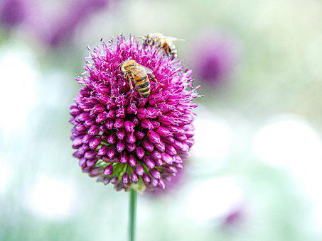 Bees, Insects, Pollinate, Pollination, Flower