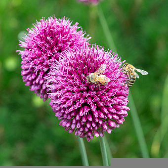 Bees, Insect, Pollinate, Pollination, Flowers