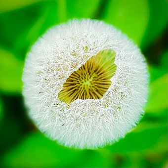 Dandelion, Flower, Seeds, Wet, Dew, Dewdrops, Seed Head