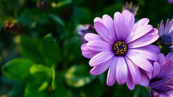 Aster, Flower, Purple Aster, Petals, Purple Petals