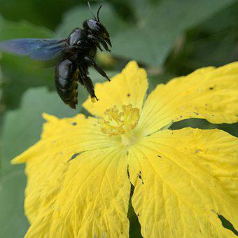 Carpenter Bee, Insect, Pollinate, Bee, Pollination