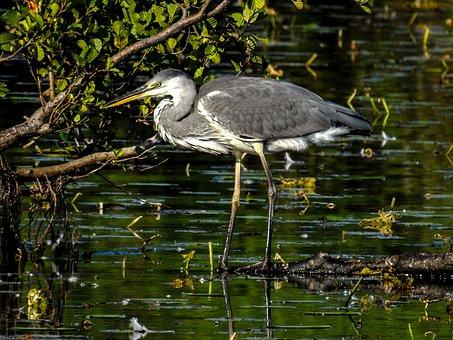 Grey Heron, Bird, Animal, Heron, Wading Bird, Wildlife