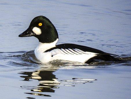 Haddock Duck, Duck, Bird, Animal, Waterfowl, Water Bird