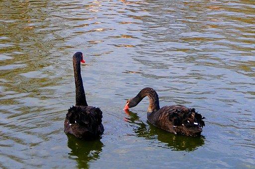 Black Swans, Swans, Birds, Waterfowls, Water Birds