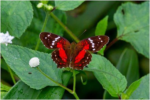 Butterfly, Metalmark, Insect, Nature, Fauna, Garden