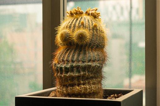 Cactaceae, Cactus, Cacti, Cactus Flower, Cactus Plant