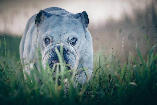 Bulldog, Dog, Pet, Canine, Animal, Fur, Snout, Mammal