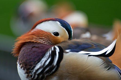 Mandarin Duck, Bird, Duck, Animal, Feathers, Plumage