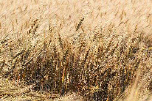 Wheat, Field, Grass, Wheat Field, Barley, Crops