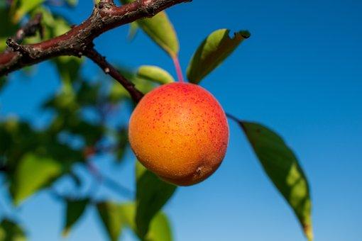 Apricot, Fruit, Food, Harvest, Fresh, Ripe, Organic