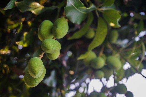 Mangoes, Fruits, Food, Harvest, Agriculture, Leaves