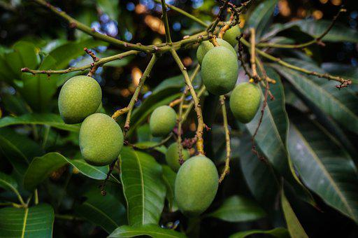 Mangoes, Fruits, Food, Agriculture, Tree, Fresh