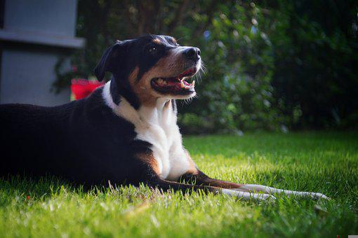 Dog, Pet, Canine, Animal, Lying, Fur, Snout, Grass