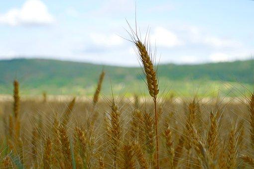 Wheat, Field, Wheat Field, Grass, Barley, Crops