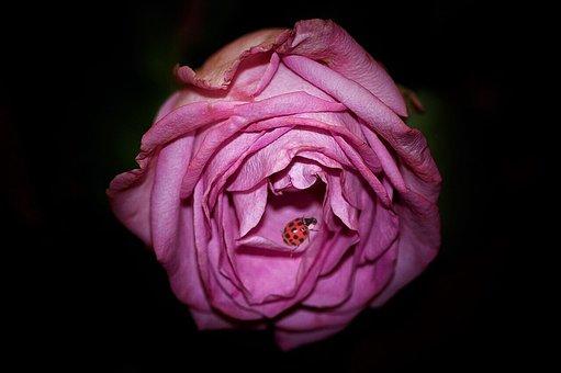 Rose, Flower, Ladybug, Beetle, Insect, Pink Flower
