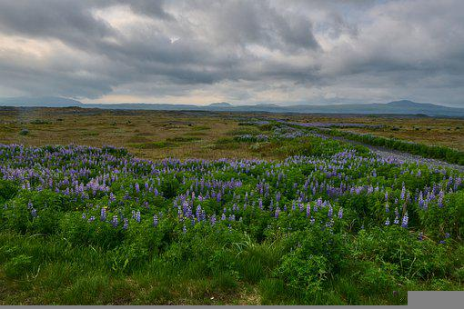 Lupines, Flowers, Field Of Lupines, Leaves, Sky, Clouds