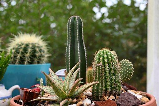 Cacti, Aloe, Agave, Succulent, Plants, Desert, Plant