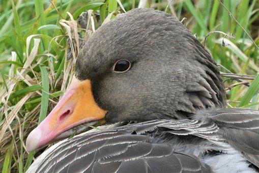 Duck, Animal, Bird, Mallard, Feathers, Plumage, Beak