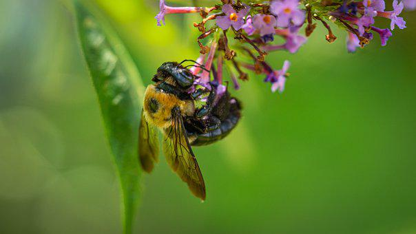 Bee, Insect, Pollinate, Pollination, Flower