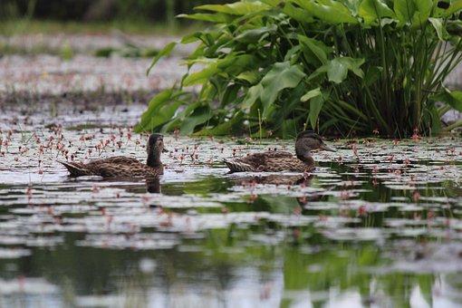 Ducks, Birds, Pond, Swim, Animals, Plumage, Feathers