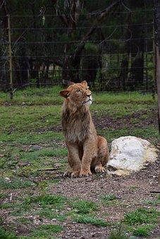 Lion, Animal, Mane, Mammal, Feline, Predator, Wildlife