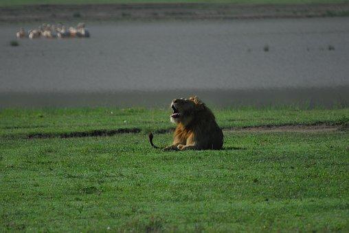 Lion, Animal, Mane, Mammal, Predator, Wildlife, Safari