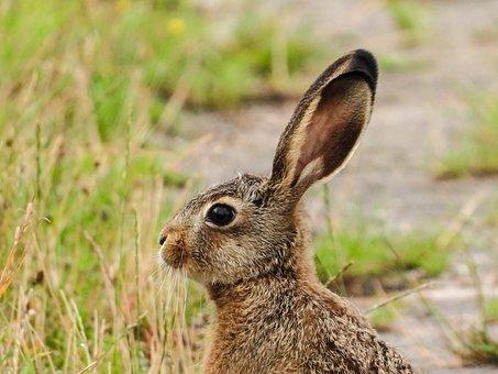 Hare, Long Eared, Rabbit Ears, Wild Rabbit, Meadow