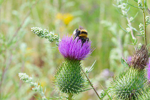 Bee, Insect, Pollinate, Pollination, Flower, Thistle