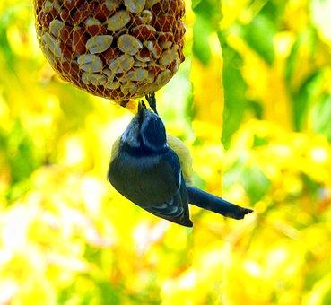 Blue Tit, Bird, Foraging, Tit, Feathers, Plumage
