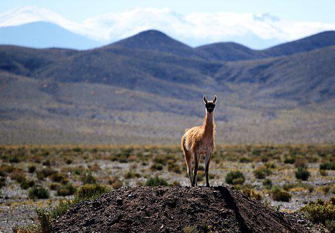Vicuna, Animal, Wildlife, Mammal, Nature, Wilderness