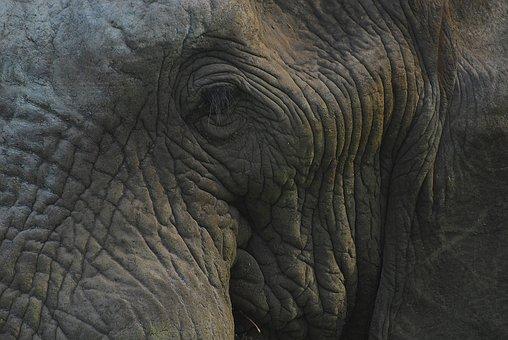 Elephant, Head, Eye, Wildlife, Animal, Pachyderm