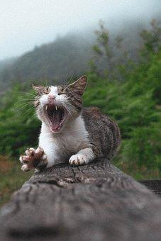 Cat, Pet, Feline, Animal, Fur, Whiskers, Yawn, Kitty