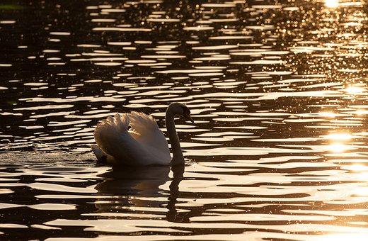 Swan, Bird, White Swan, Lake, Animal, Plumage, Feathers