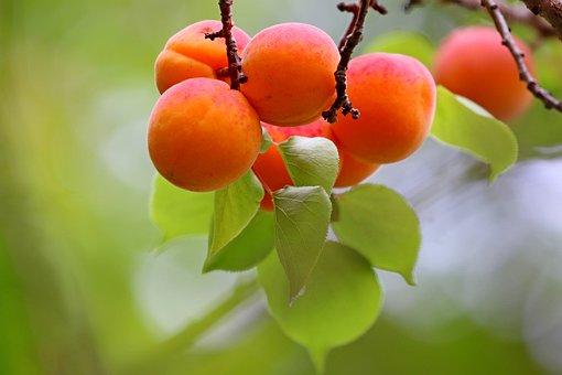 Apricot, Fruit, Wood, Summer, Dessert, Harvest, Sweet