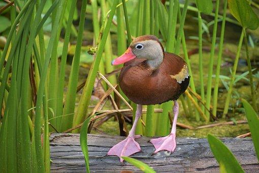 Duck, Bird, Animal, Plumage, Feathers, Beak, Bill