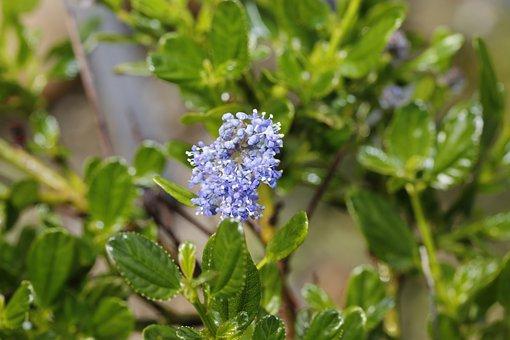 California Lilac, Flowers, Plant, Ceanothus