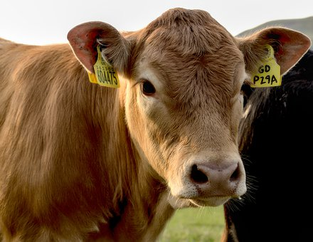 Cow, Cattle, Livestock, Animal, Farm, Agriculture