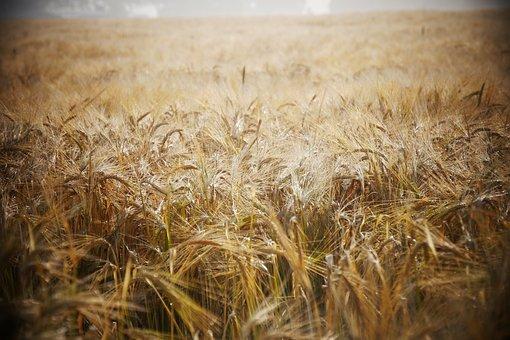 Wheat, Field, Wheat Field, Barley, Crops, Wheat Crops