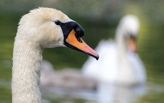 Swan, Bird, Animal, Beak, Bill, Feathers, Water Bird