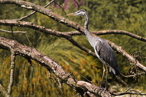 Grey Heron, Bird, Heron, Perched, Plumage, Feathers
