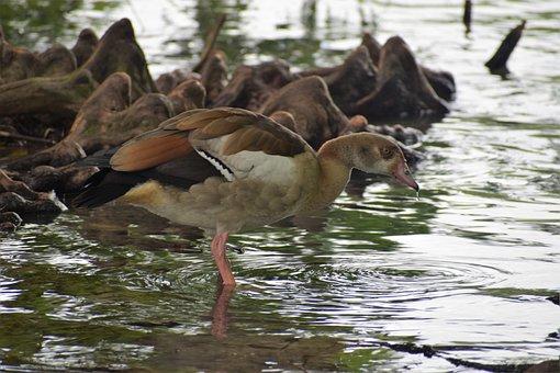Duck, Bird, Pond, Animals, Plumage, Feathers, Beak