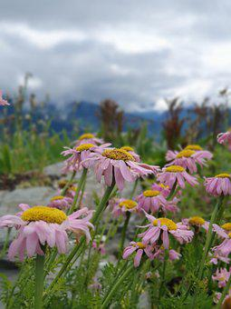 Flowers, Mountains, Meadow, Daisies, Flora
