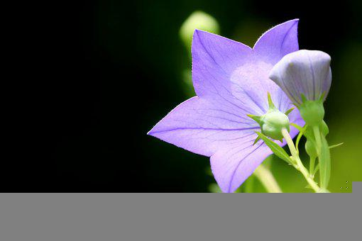 Morning Glory, Flower, Blue Flower, Petals, Blue Petals