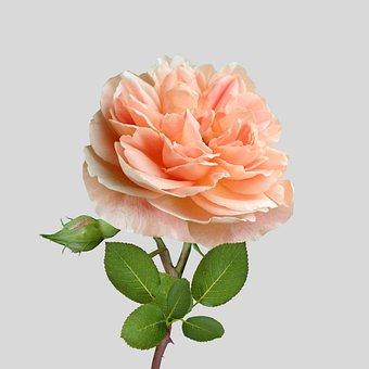 Peach, Rose, Flower, Flowerbud, Blooming, Rosemary
