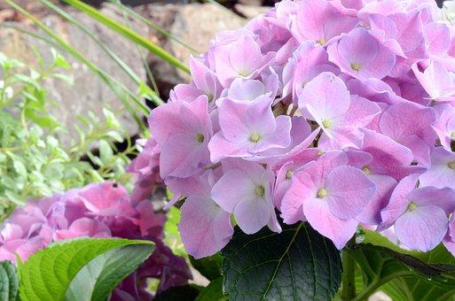Hydrangeas, Flowers, Garden, Petals, Flora, Plant
