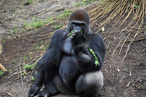 Gorilla, Animal, Ape, Primate, Mammal, Zoo, Endangered