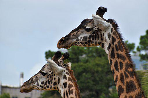 Giraffes, Animals, Mammals, Heads, Long-necked, Safari