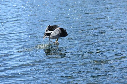 Great Blue Heron, Bird, Heron, Lake, Animal, Feathers