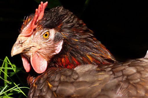 Hen, Poultry, Chicken, Livestock, Bird, Bill, Beak